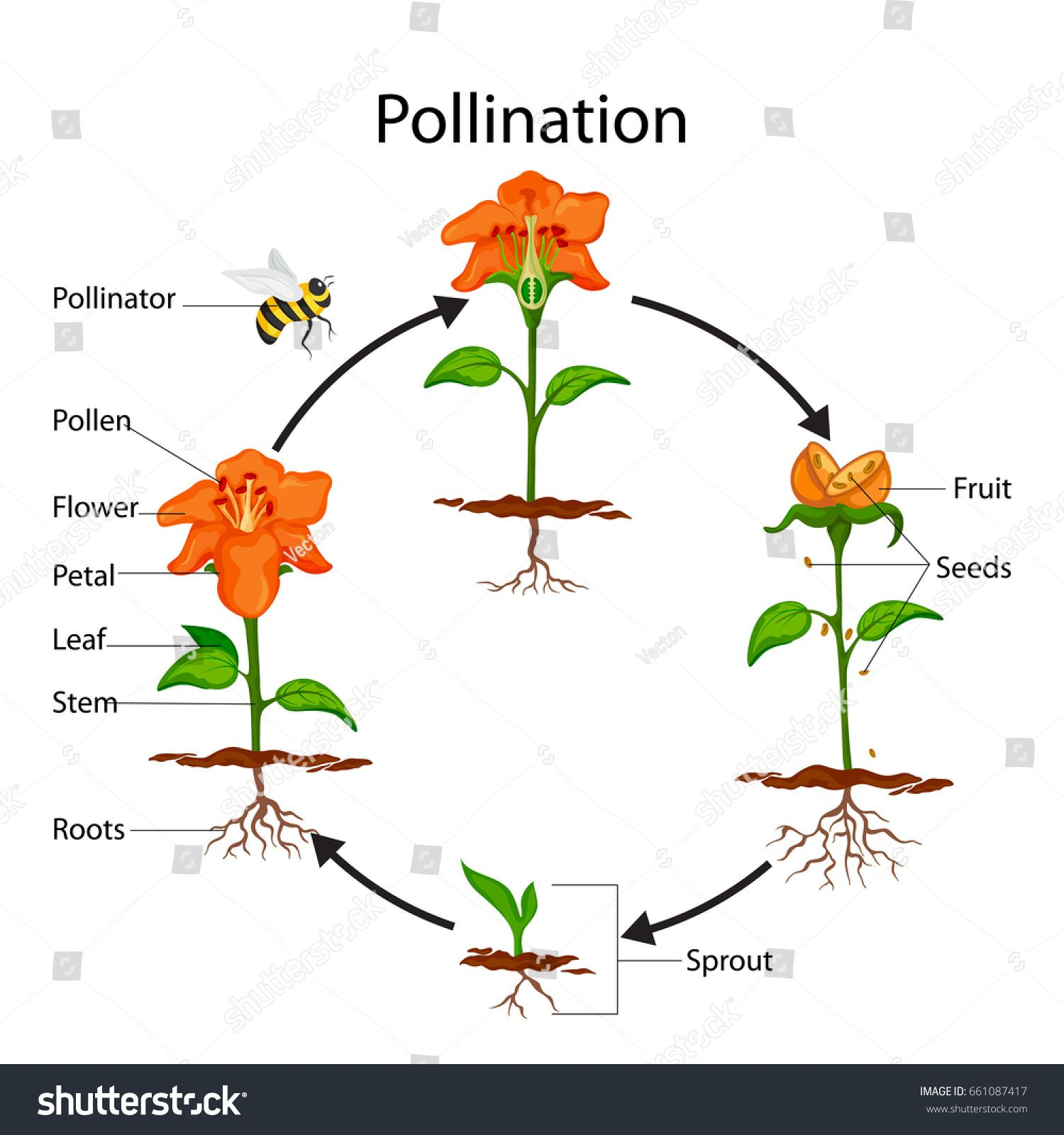 Education Chart Of Biology For Pollination Process Diagram Vector Illustration Ad Affiliate Biology Pollinati In 2020 Pollination Biology Plants Plant Structure