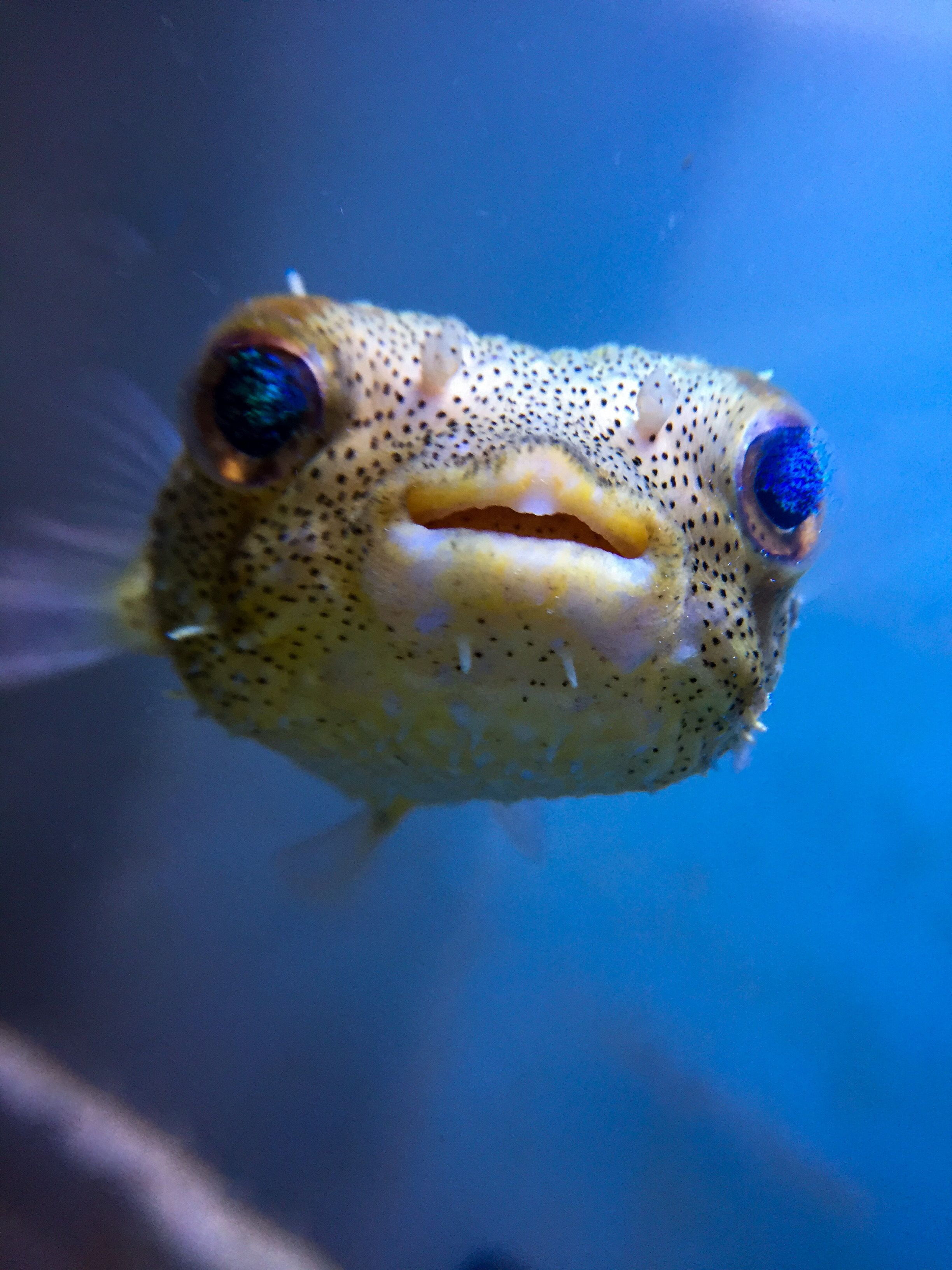 Porcupine Puffer Marine Aquarium Fish Animals Beautiful Cute Fish
