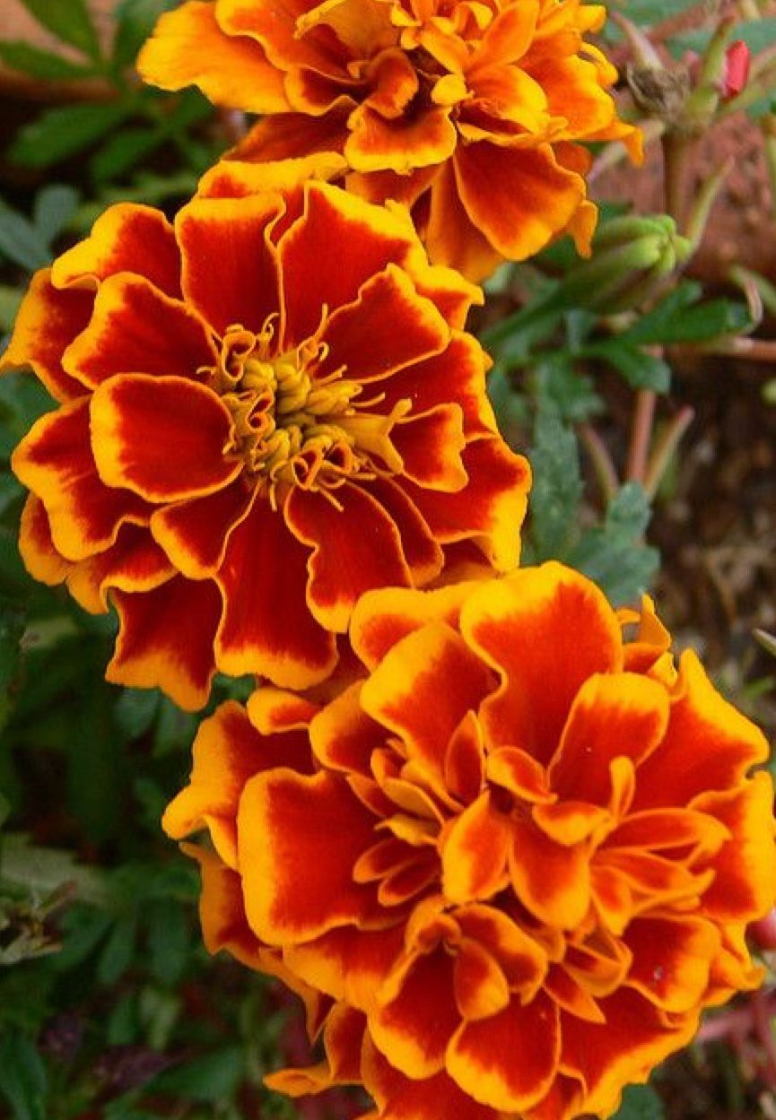 Pin by Gail Steven on Flower cottages Planting marigolds