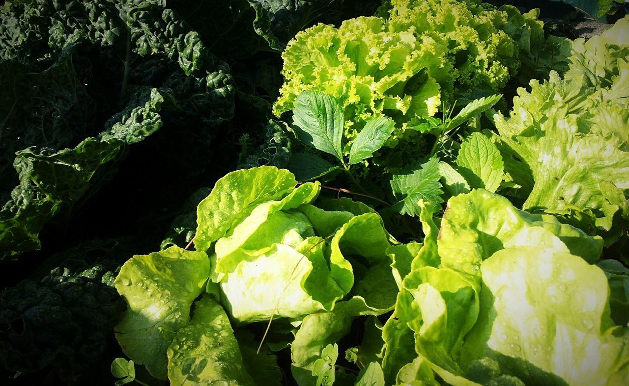 Gemüse Pflanzen August