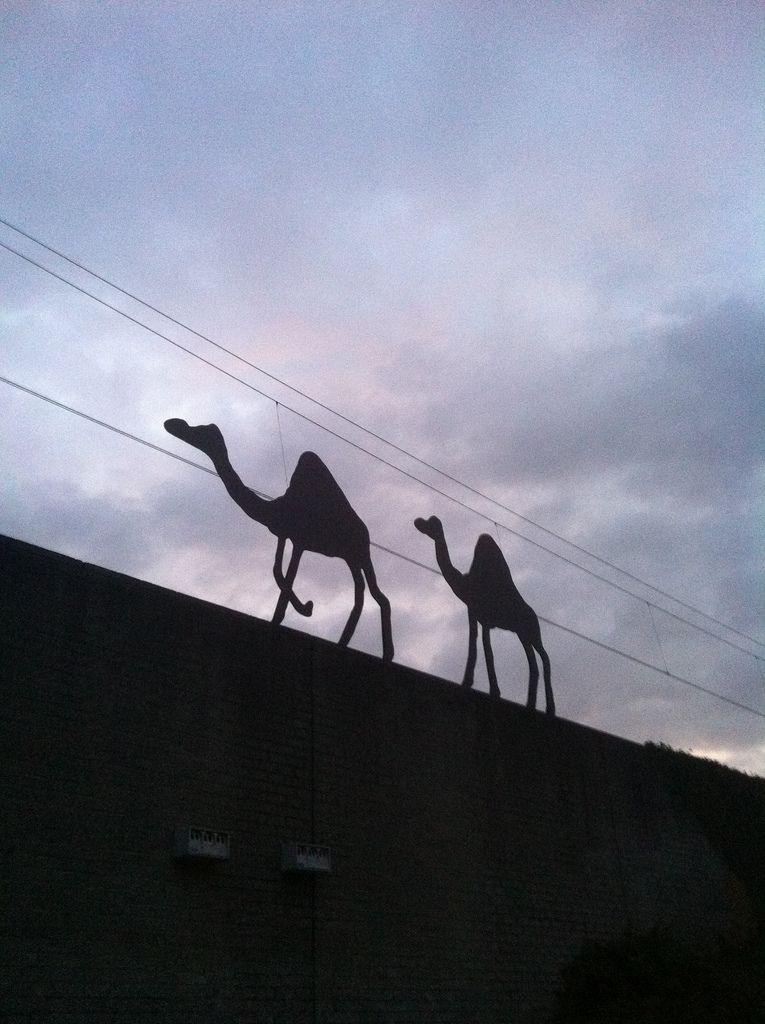 Kamelen, Watergraafsmeer, Amsterdam.