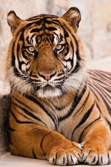 Very beautiful tiger