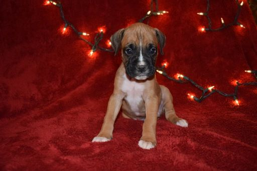 Litter Of 8 Boxer Puppies For Sale In Westminster Sc Adn 20008