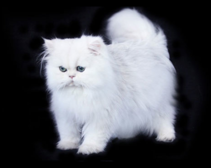 Isaac White Chinchilla Silver Teacup Persian Cat 2