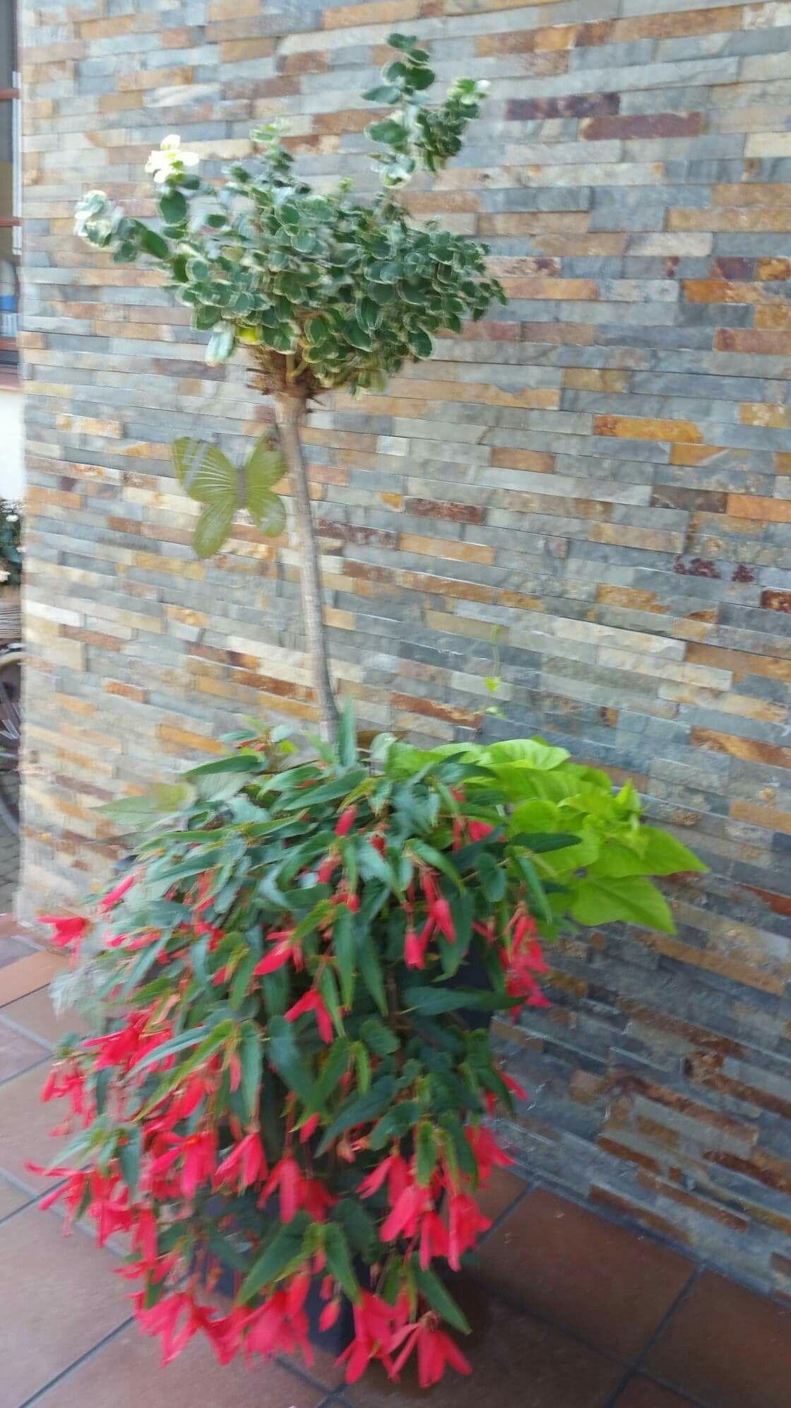 Trzmielina Na Pniu I Begonia Plants