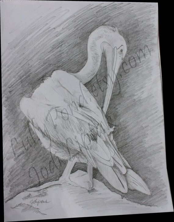 Pelican Study Illustration 9 x 12 by LullyPond on Etsy