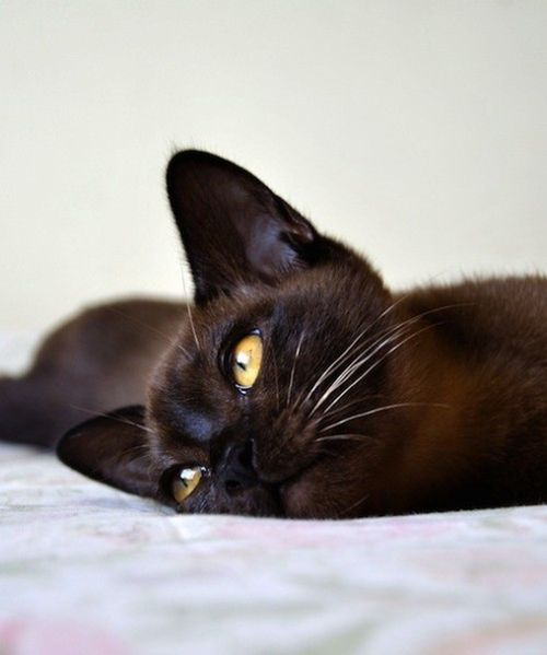 Black Burmese Burmese Cat Cat Breeds Cats And Kittens