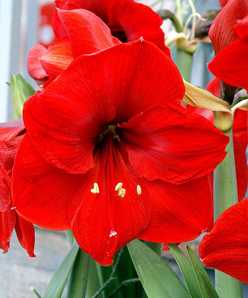 Red Lion Garden Amaryllis Bulb Set Of 12 Bulb Flowers Amaryllis Bulbs Planting Bulbs