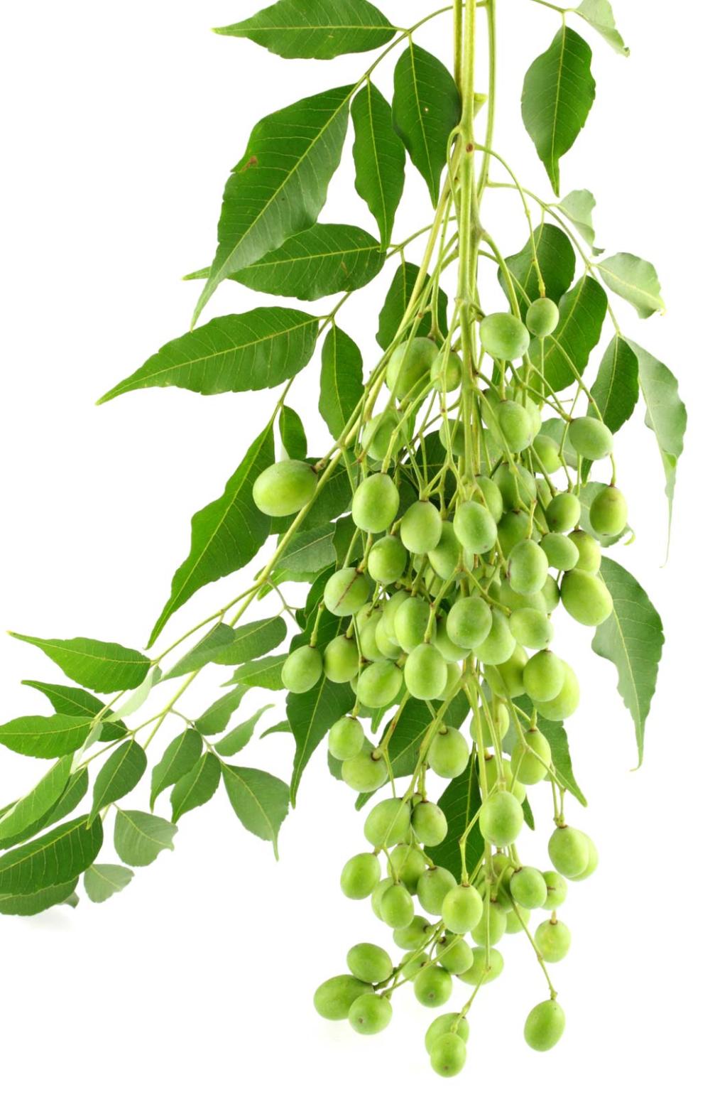 Neem Seeds cultivation