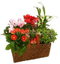 Cesta de plantas con fresas y bombones www.estilazo.com