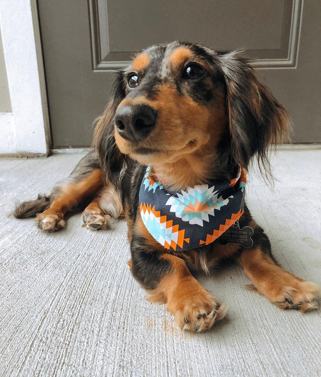 Dachshund Products Apparel And Gifts Dapple Dachshund Crazy