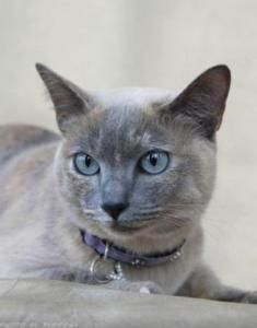 Tonkinese Cats Breed Profile And Facts Tonkinese Cat