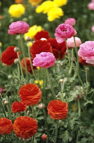fiche plante renoncule renoncules flowers planting. Black Bedroom Furniture Sets. Home Design Ideas