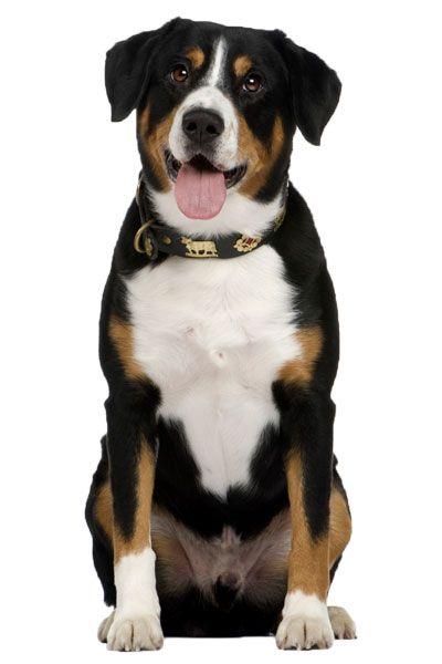 Entlebucher Mountain Dog Dog Breed Information | UK Pets | Pes