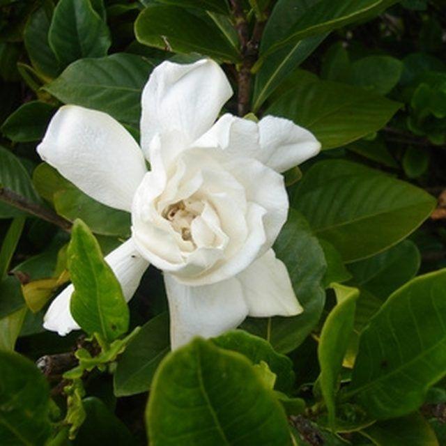 Plant Your Gardenia Bush In A Serene Garden Where You Can Enjoy