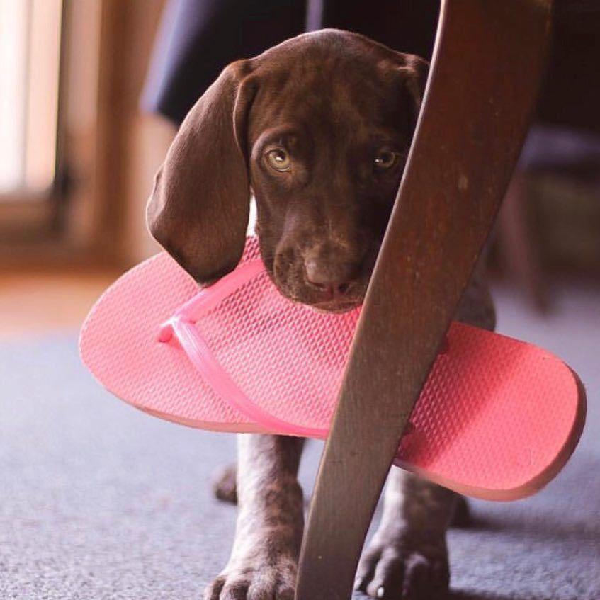 Vizsla Puppies Texas Price 2021
