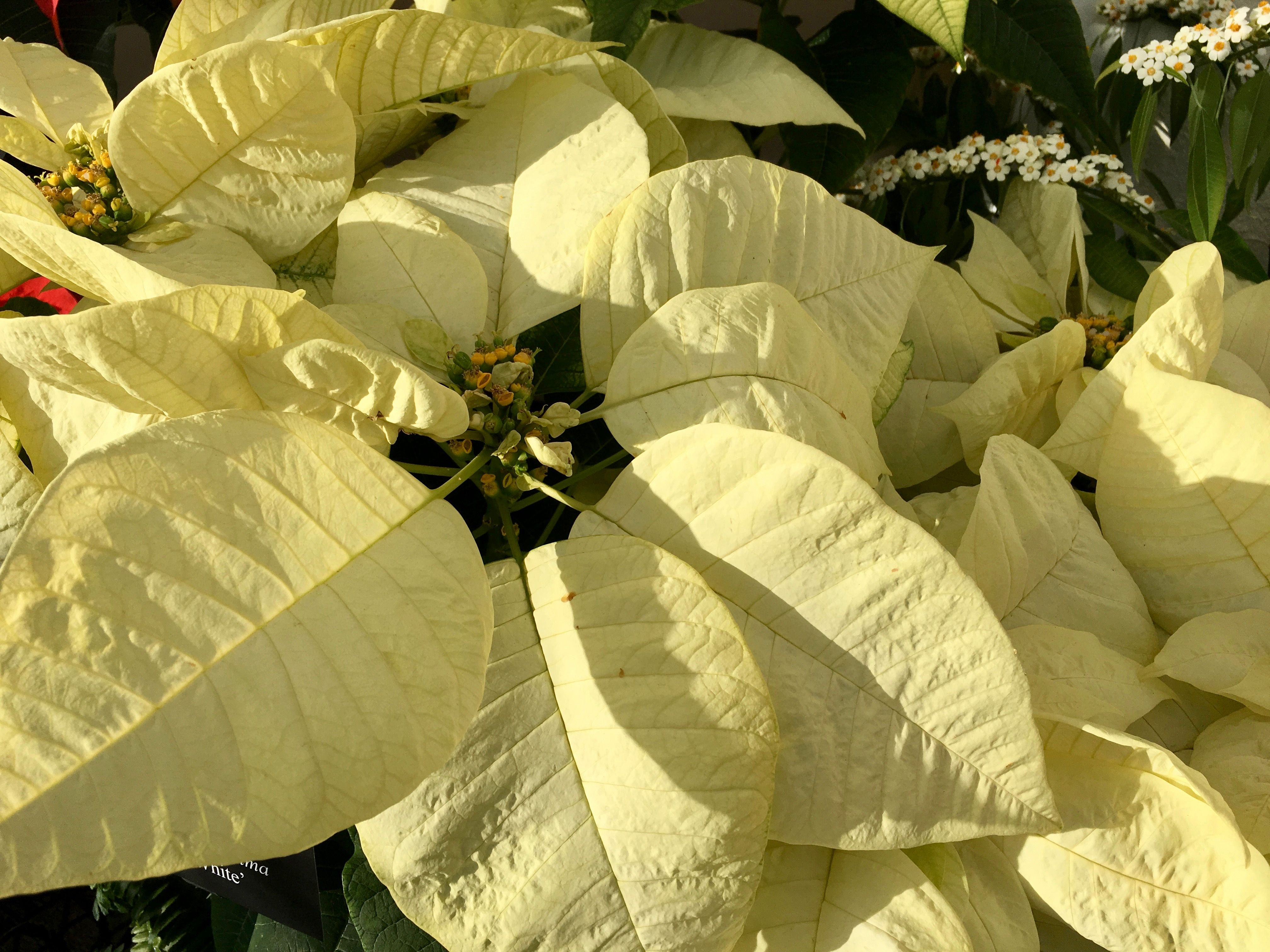 New Hybrids Promise To Rock Your Poinsettia World Poinsettia