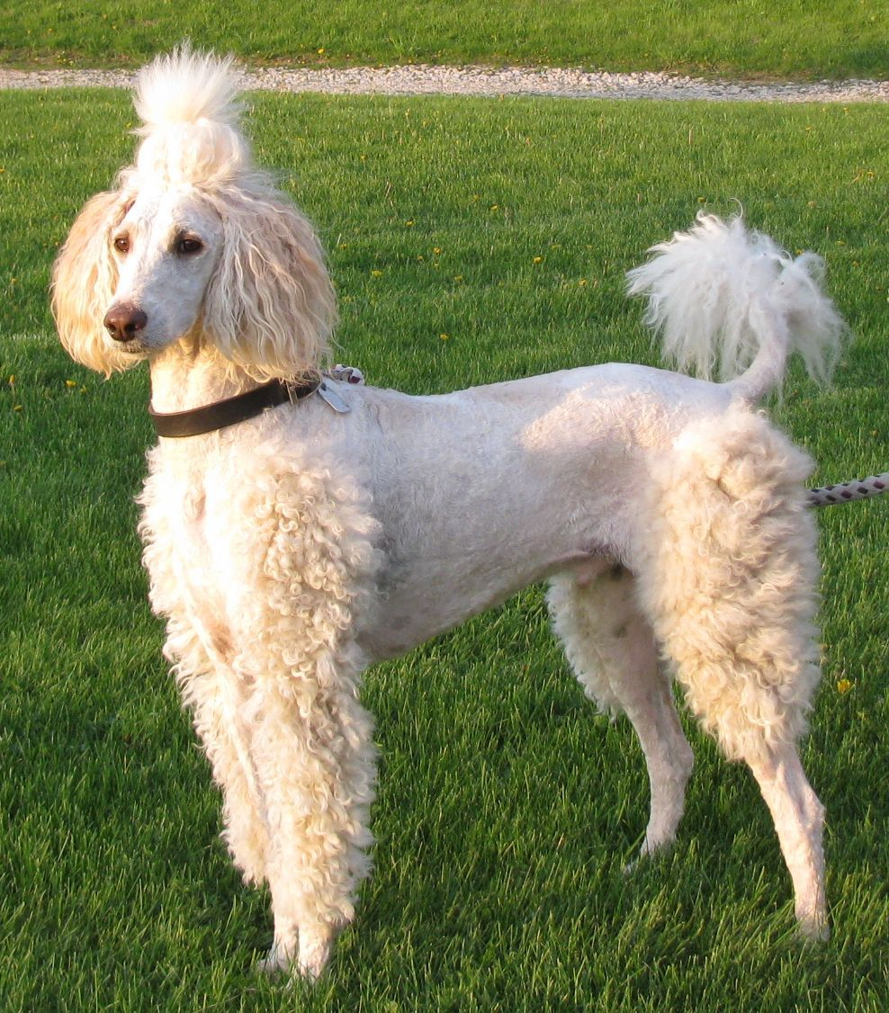 Pin On Poodle Style