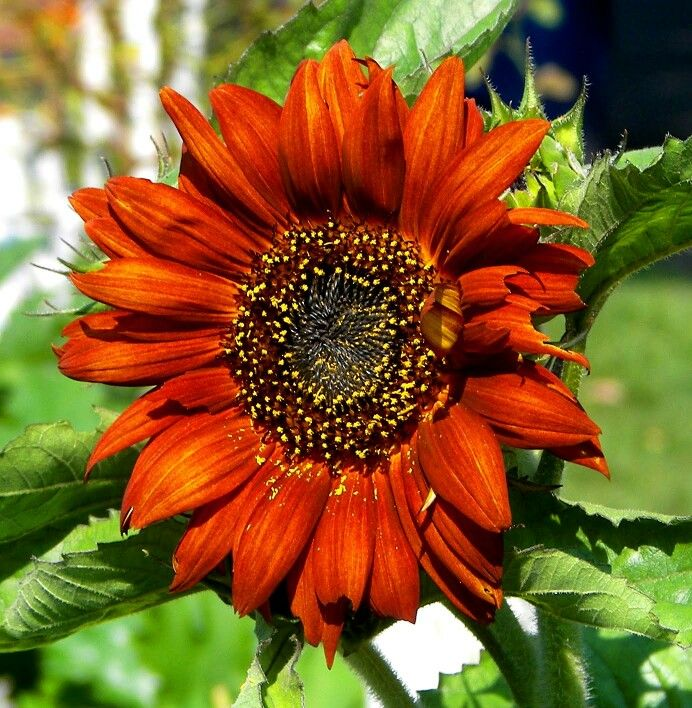 Burnt Orange Sunflower Red Sunflowers Orange Sunflowers Orange Plant