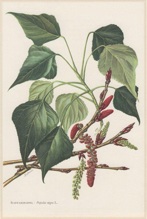 1960 Vintage Botanical Print Populus nigra Black by Craftissimo