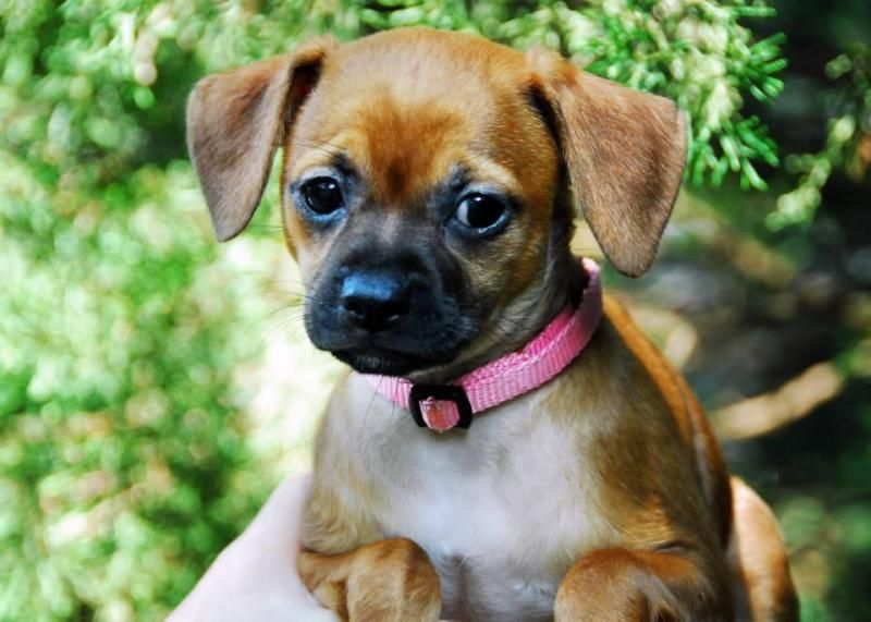 Adopt Gigi On Adoptable Dachshund Dog Pug Mix Puppies