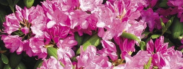 Ericaceous plants - Azaleas and Camellias