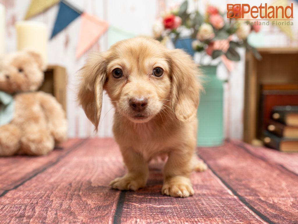 Puppies For Sale In 2020 Puppy Friends Dachshund Puppies For Sale Dachshund Puppies