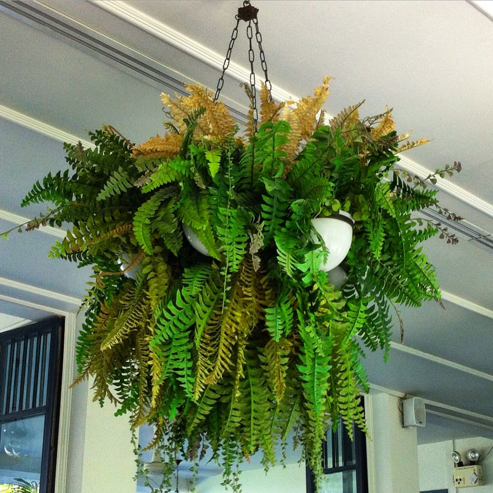 Ferns in multi hanging baskets