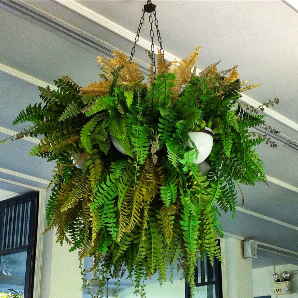 Ferns in multi hanging baskets