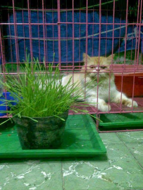 Rumput Gandum Wheatgrass Kucing Kucing Menikmati Rumput Gandum Kucing Binatang Rumput