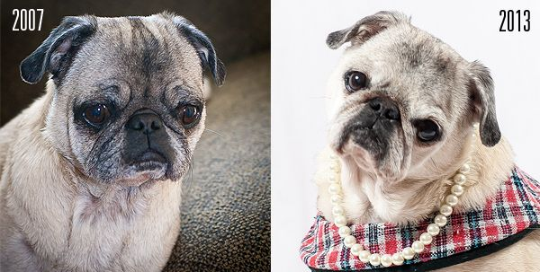 Lady Maggie A Texas Rescue Pug Then And Now Rescue Stories