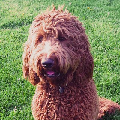 Doodle Mom Irish doodle, Goldendoodle puppy, Doodle puppy