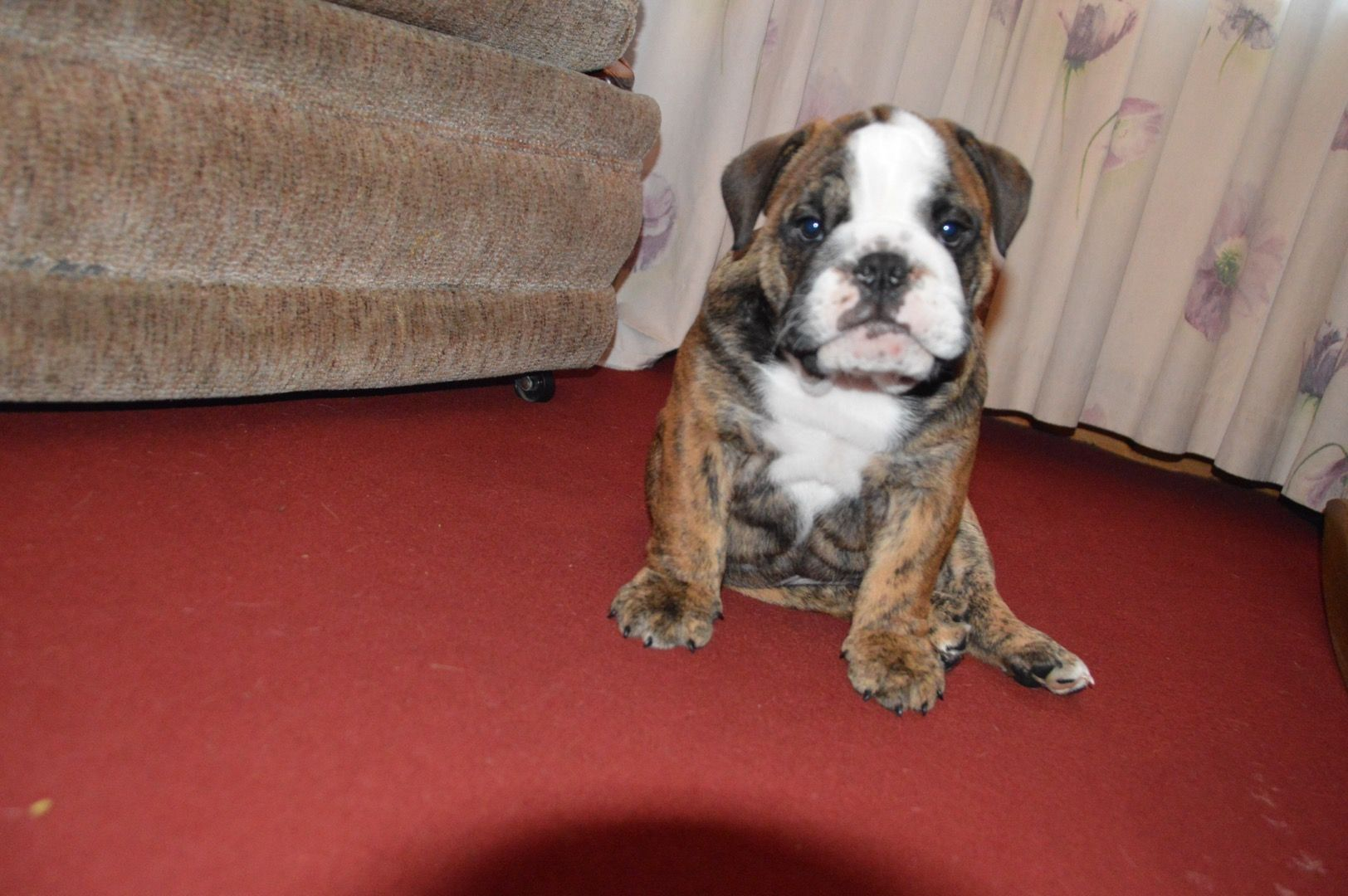 Mosalah Mosalah The Egyptian King My British Bulldog Puppy Baby