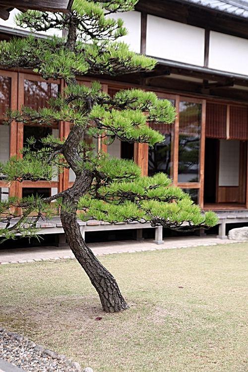 Pine tree japanese garden style pinterest pine tree for Zen garden trees