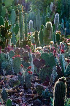 Arizona Cactus Garden at Stanford.  Photo Cindy Pearson (flickr)