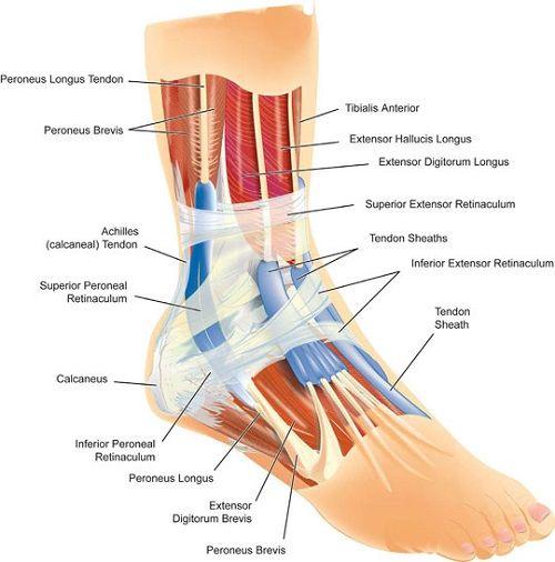 diagram of ankle tendons health care and medical. Black Bedroom Furniture Sets. Home Design Ideas