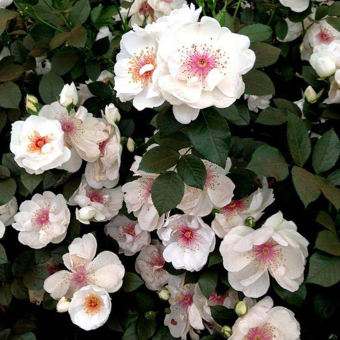 Rose - Jacqueline du Pre