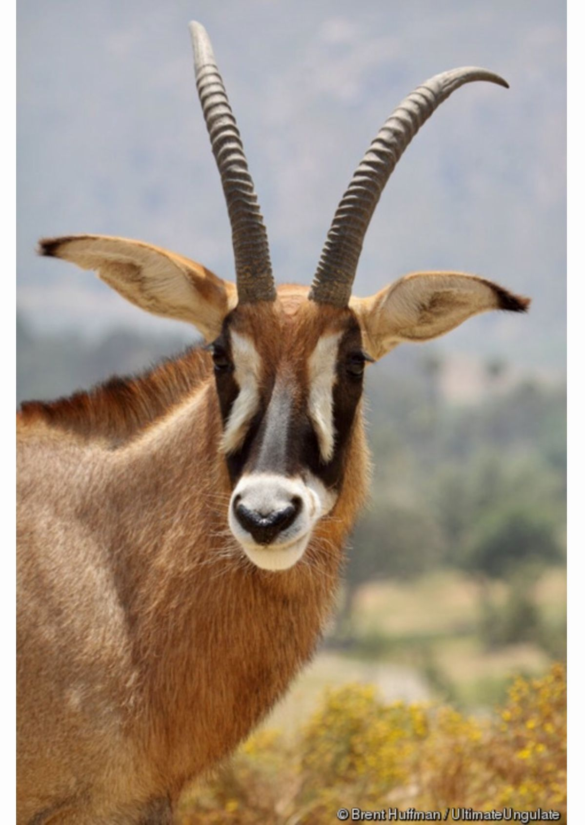 Roan antelope (Hippotragus equinus), the largest antelope