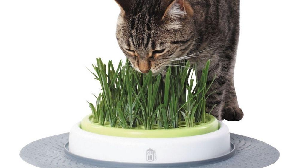 Quelles sont les bonnes plantes pour mon chat Herbe à