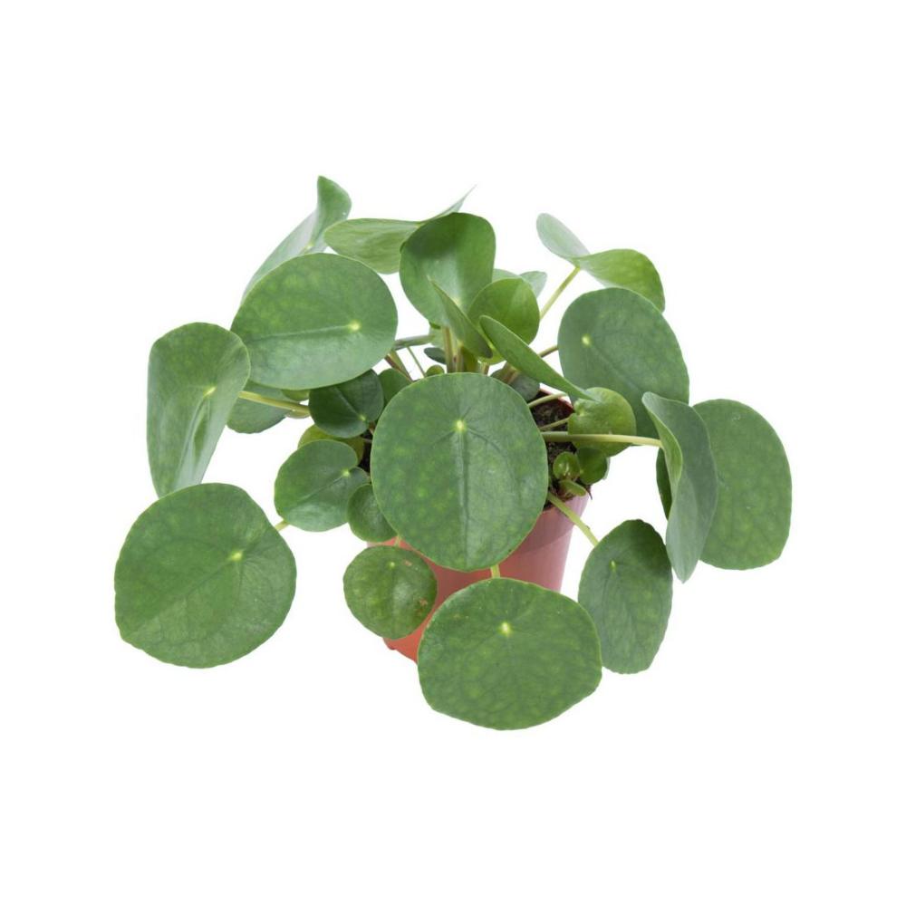 Pieniazek 20 Cm Kwiaty Doniczkowe W Atrakcyjnej Cenie W Sklepach Leroy Merlin Plant Leaves Plants Flora