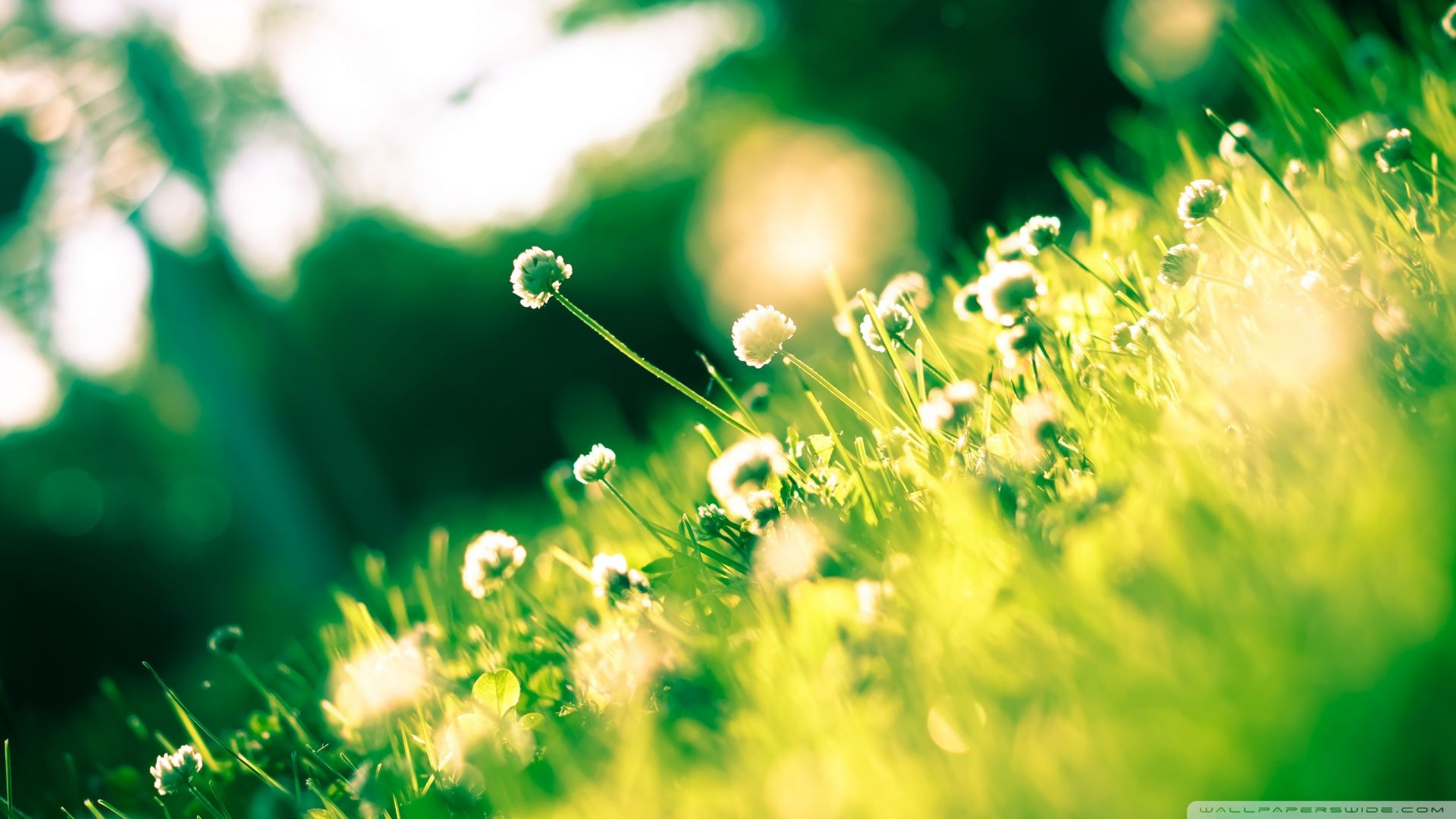 Free Download Dandelion Background