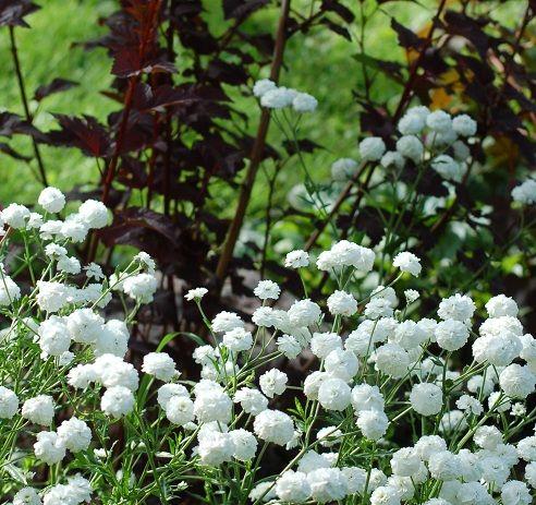 Vanhanajan perennat Koreakärsämö | Puutarha | Pinterest | Kasvit,Puutarha ja Puutarhaideat