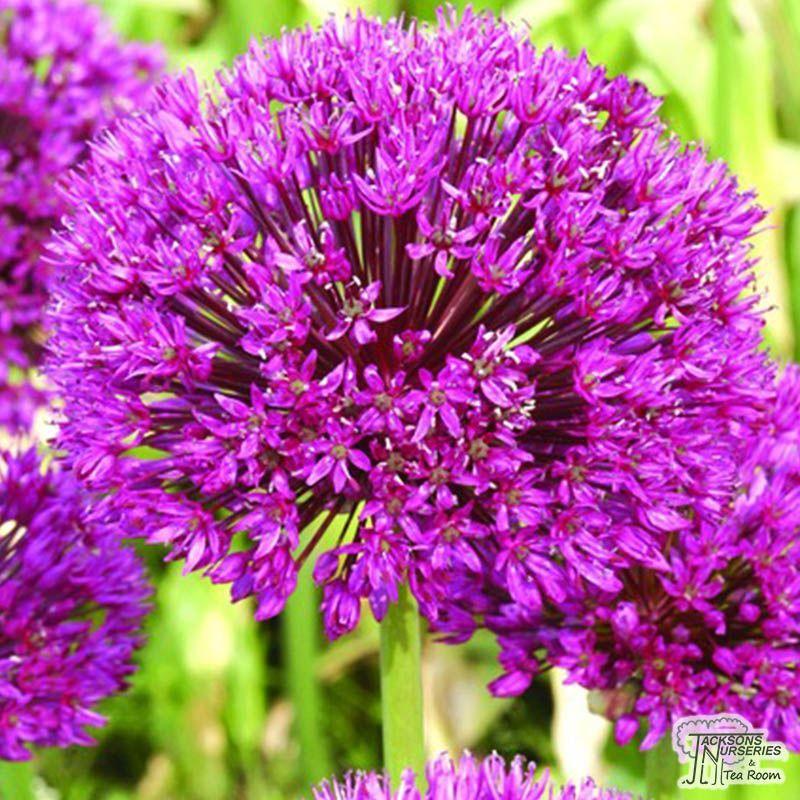 Allium Aflatunense Bulbs Bloemen