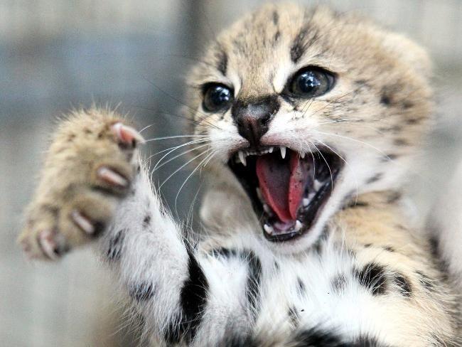 Adelaide Zoo S 3 Little Serval Kittens Serval Kitten Wild Cats Serval Cats