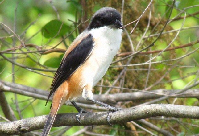 Download Suara Cendet Atau Pentet Juara Mp3 Untuk Masteran Suaraburung Xyz Burung Burung Pemangsa Suara