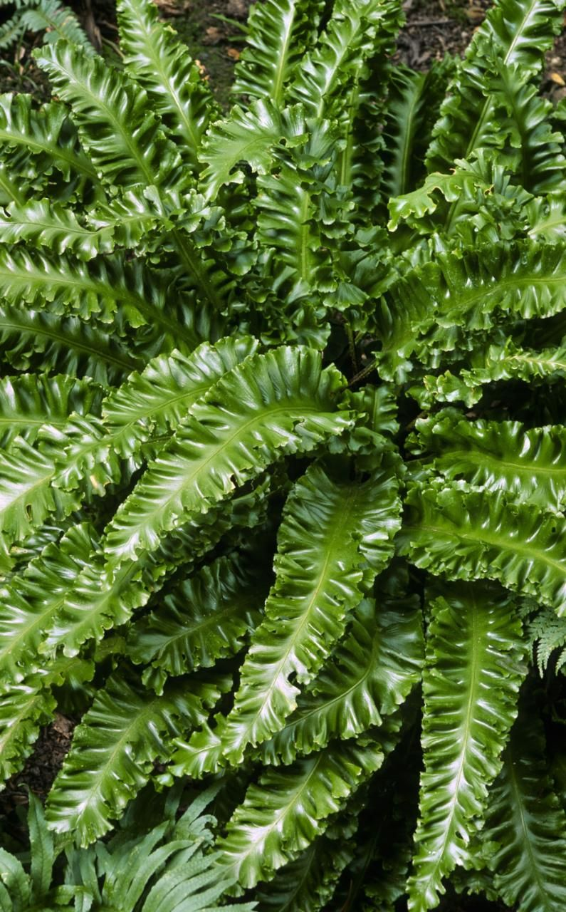 A fern familiar to all. Planting and care