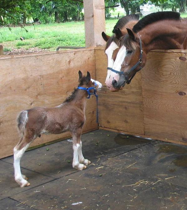 poulain et chevaux