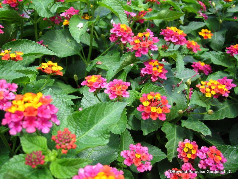 Irene Lantana Annual Perennial Zones 2 11 Full Sun 4 Tall Blooms Summer To Frost Lantana Backyard Plants House Landscape