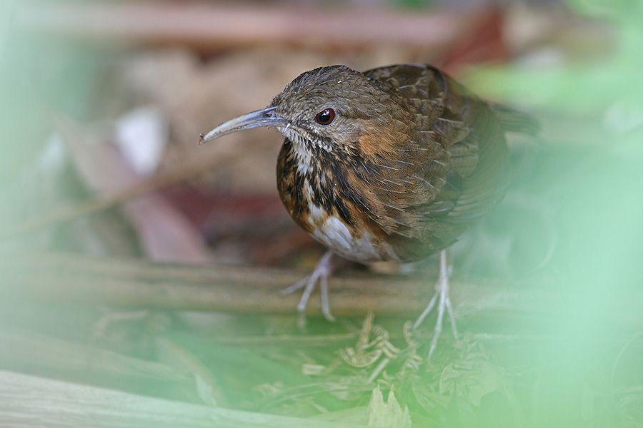 Indochinese Wren Babbler