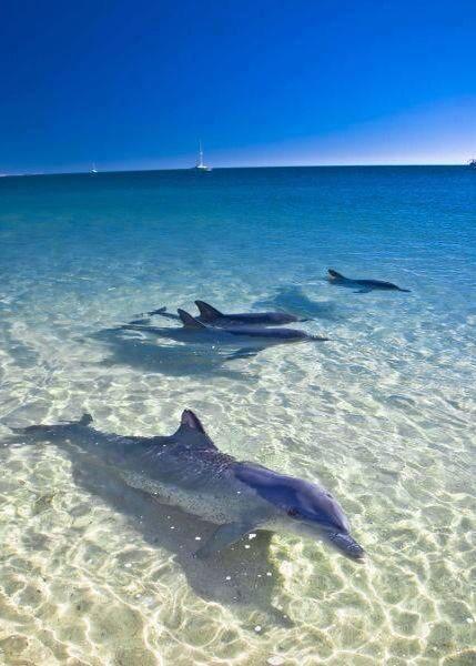 dolphins at Monkey Mia, australia